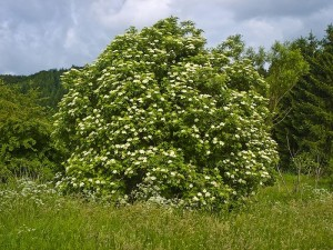 The Elder Tree ~Sambucus nigra